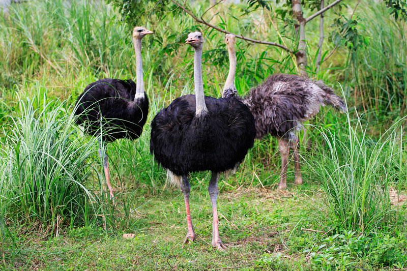 haciendas de naga zoofari ostriches